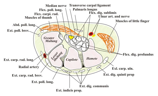 carpal tunnel anatomy diagram